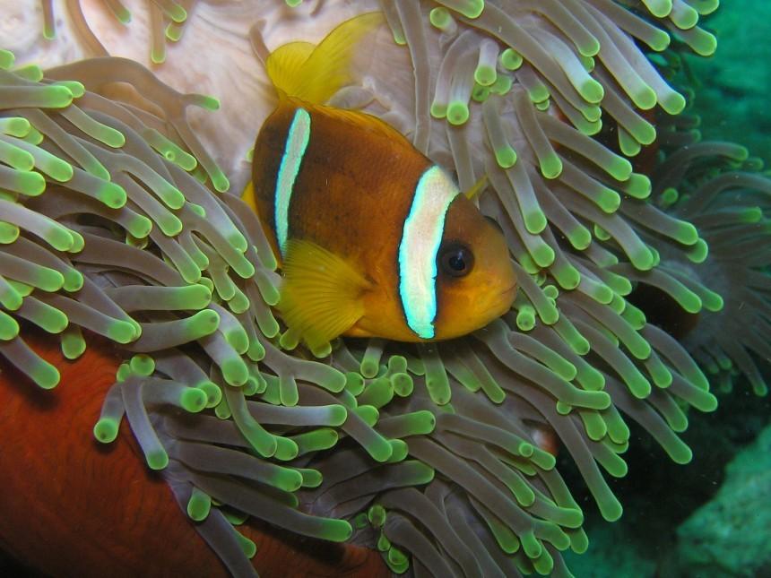 clown-fish-225421_1920.jpg