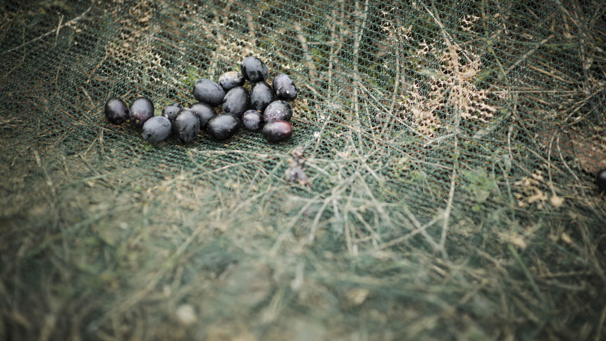 11._Toskana_Tour_olive_harvest_(674)_copia_.JPG