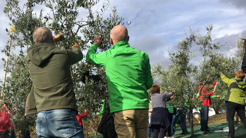 7._olive_harvest_tuscany_.JPG